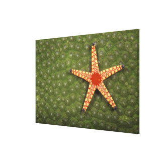 Sea star cleaning reefs by eating algae canvas print