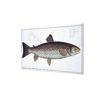Sea Trout (Salmo Trutta) plate XXI from 'Ichthyolo Canvas Print