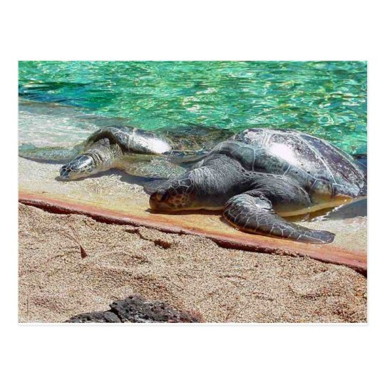 sea turtles postcard