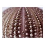 sea urchin post card