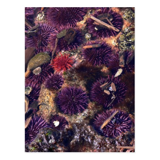 Sea Urchins Post Card