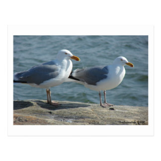 Seagull at Barnegat Inlet Postcard