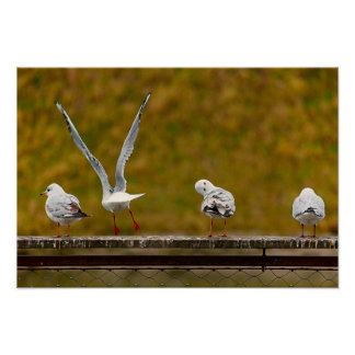 Seagulls relaxing on a Balustrade by the River Poster
