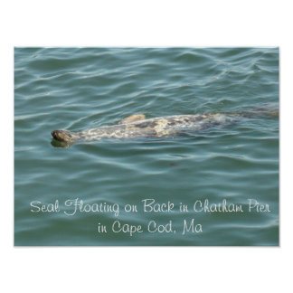 Seal Floating on Back in Chatham Pier in Cape Cod Poster