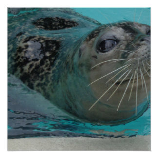 Seal, glossy poster