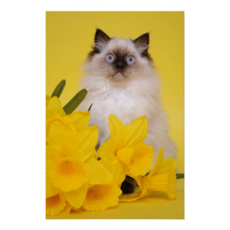 Seal point Ragdoll kitten poster