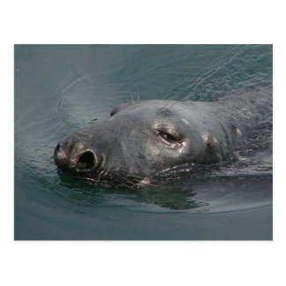 Seal, Stornoway Harbour, Outer Hebrides Postcard