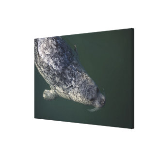 Seal swimming under the water 2 canvas print