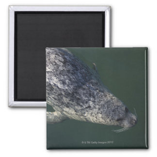 Seal swimming under the water 2 magnet