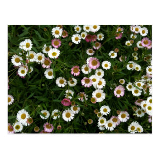 Seaside Daisies Postcard