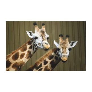 Seattle, Washington. Two giraffes Gallery Wrapped Canvas