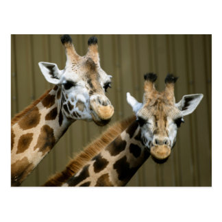 Seattle, Washington. Two giraffes Postcard