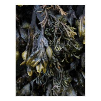 Seaweed. Postcard