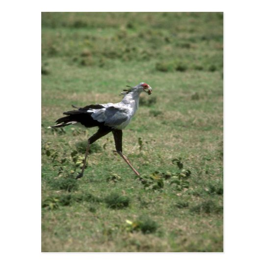 Secretary Bird, carrying stone Postcard