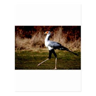 Secretary Bird Post Card