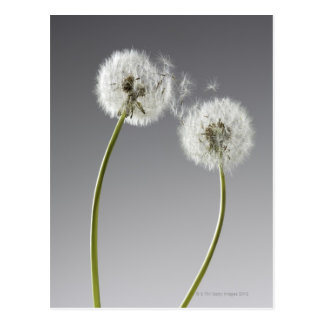 Seeds connecting two dandelions postcard