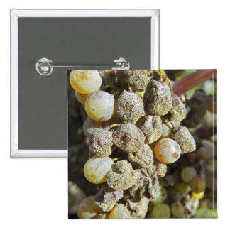 Semillon grapes with noble rot. at harvest time 15 cm square badge
