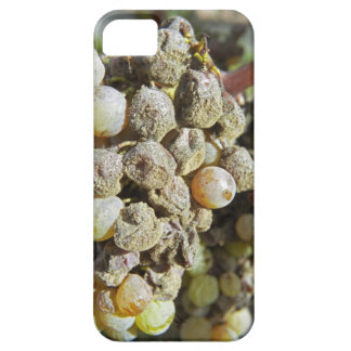 Semillon grapes with noble rot. at harvest time iPhone 5 case