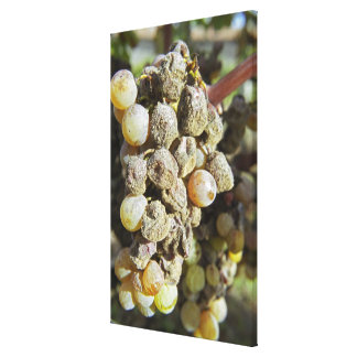 Semillon grapes with noble rot. at harvest time gallery wrap canvas