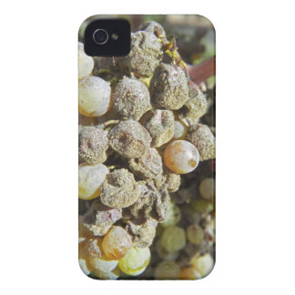 Semillon grapes with noble rot. at harvest time iPhone 4 covers
