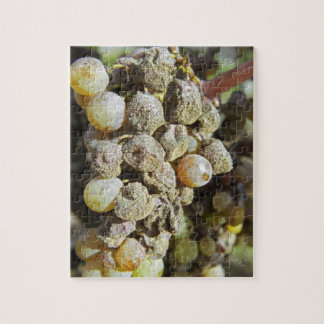 Semillon grapes with noble rot. at harvest time jigsaw puzzle