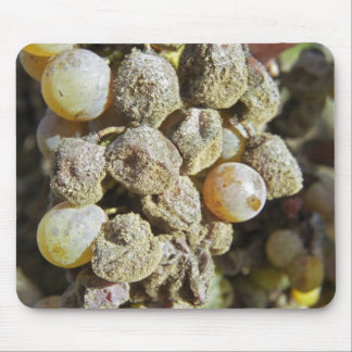 Semillon grapes with noble rot. at harvest time mouse pad