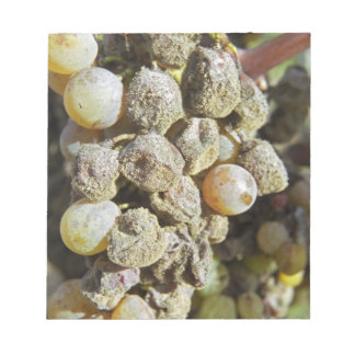 Semillon grapes with noble rot. at harvest time notepad