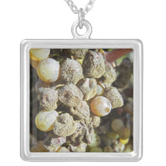 Semillon grapes with noble rot. at harvest time square pendant necklace
