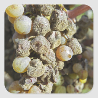 Semillon grapes with noble rot. at harvest time square sticker