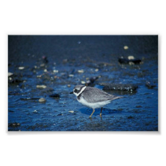 Semipalmated Plover Poster