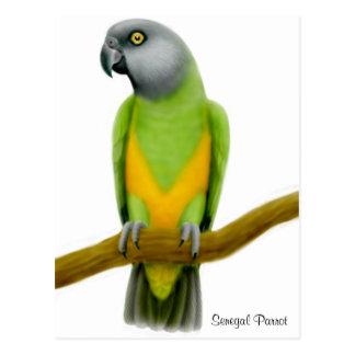Senegal Parrot Postcard