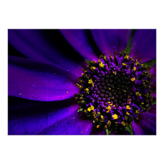 Senetti Purple Macro flower Poster