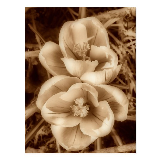 Sepia crocuses postcard
