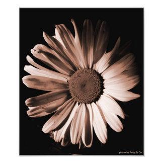 Sepia Daisy photographic print
