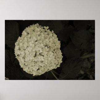 Sepia tone hydrangea flower bush photograph poster