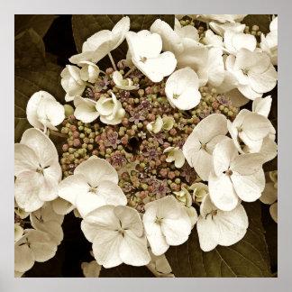 Sepia Tone White Lacecap Hydrangea Blossom Poster
