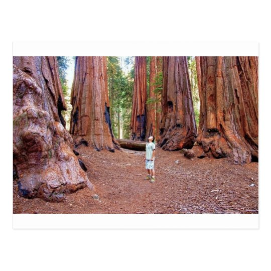 Sequioa Trees Postcard
