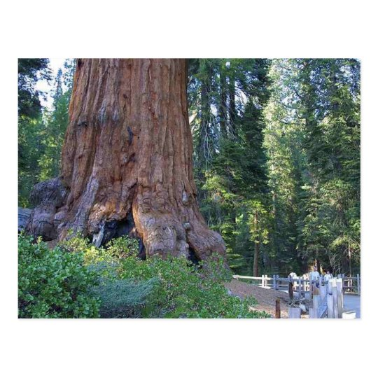 Sequoias Forrests Bark Fences Postcard