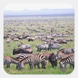 Serengetti Plains full of herds of Zebras and Square Sticker