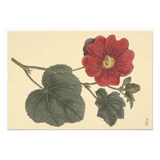 Seringapatam Hollyhock Botanical Illustration Photo Print