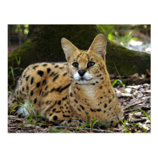 serval 015 post cards