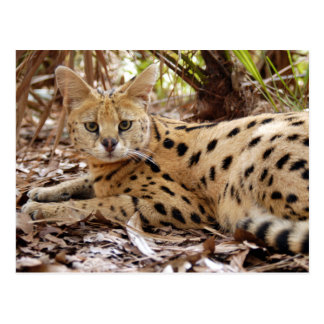 serval 025 post cards