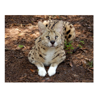 serval 028 post card
