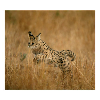 Serval (Leptailurus Serval) Jumping Poster