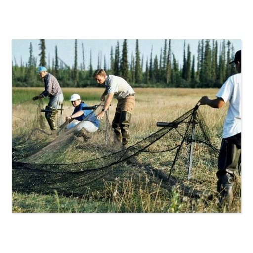 Setting a waterfowl capture net post cards