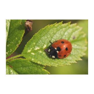 Seven-spot Ladybird Canvas Print