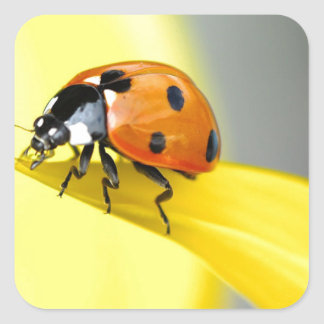 Seven Spot Ladybird takes a walk on a Sunflower Square Sticker