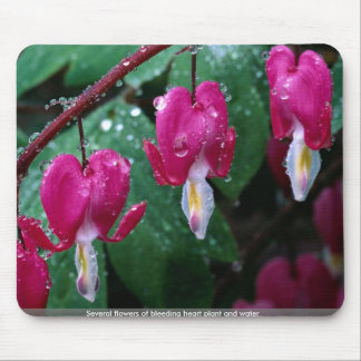 Several flowers of bleeding heart plant and water mousepads