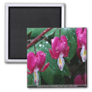 Several flowers of bleeding heart plant and water square magnet