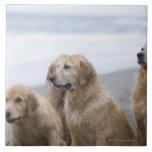 Several Golden retrievers sitting on beach